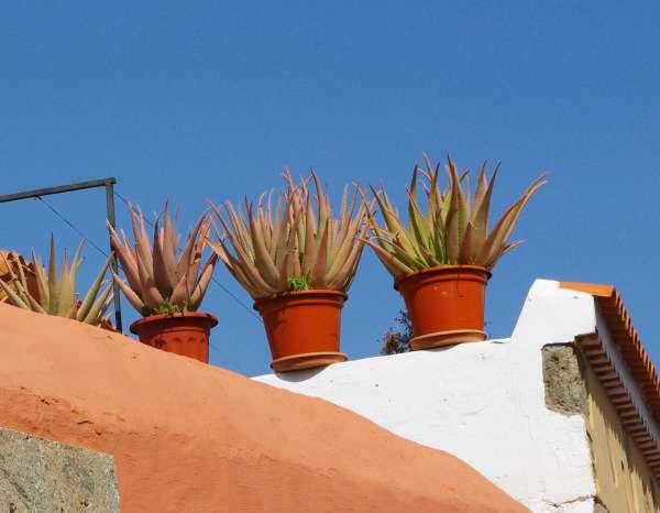 aloe vera auf dem dachbalkon spanien bilder. Black Bedroom Furniture Sets. Home Design Ideas