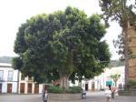 Baum vor der Basilica auf Gran Canaria