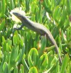 Ein Gecko aufgenommen auf Gran Canaria