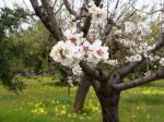 Mandeln in voller Blüte auf Mallorca