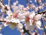 Mandeln in voller Blüte
