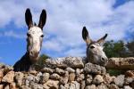 Esel auf Menorca